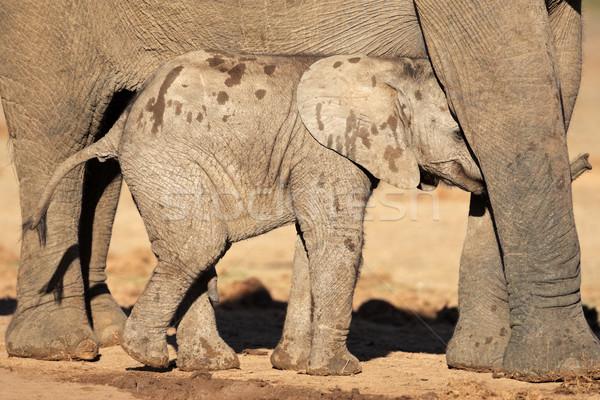 African elephant calf Stock photo © EcoPic