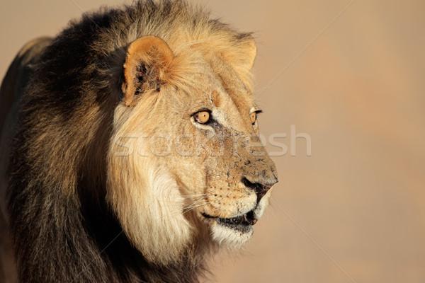 Stok fotoğraf: Afrika · aslan · portre · büyük · erkek · Güney · Afrika