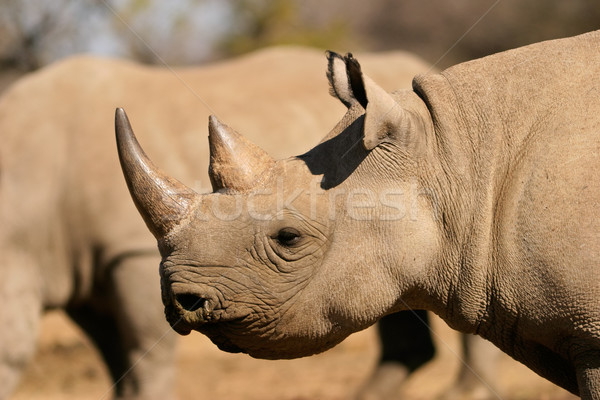 Black rhinoceros Stock photo © EcoPic