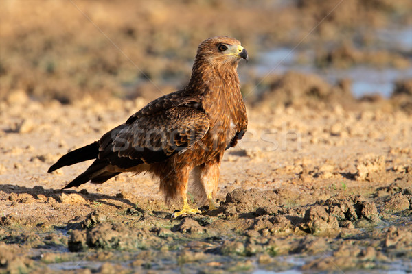 Yellow-billed kite Stock photo © EcoPic