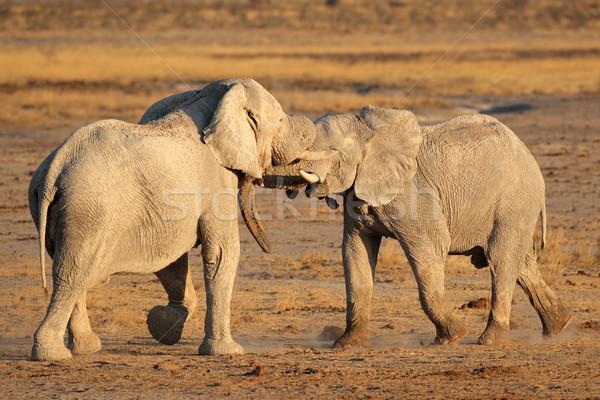 Stock photo: African elephants fighting