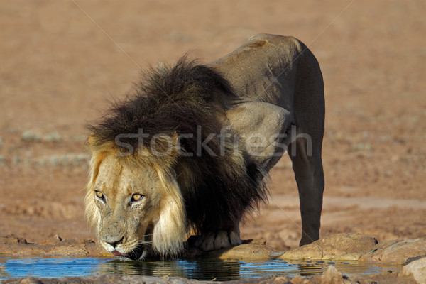 Stock photo: African lion drinking