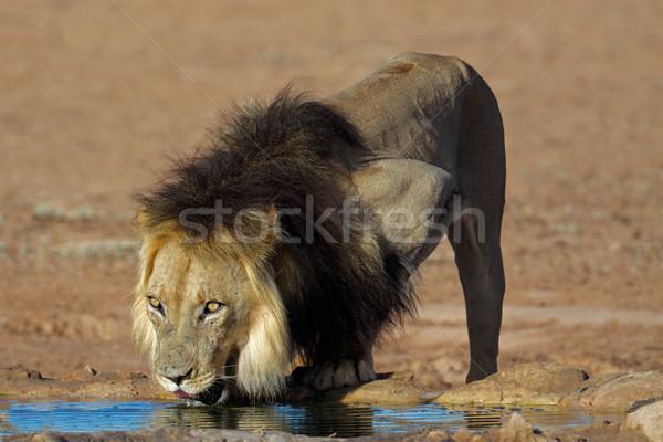 アフリカ ライオン 飲料 ビッグ 男性 飲料水 ストックフォト © EcoPic