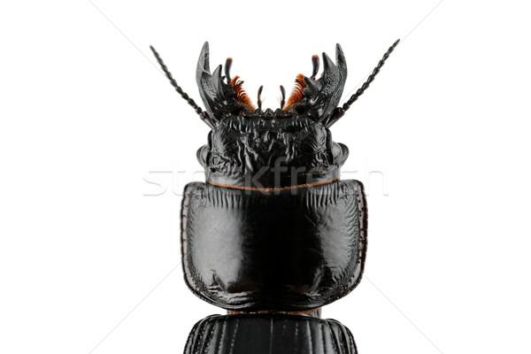 Burrowing ground beetle Stock photo © EcoPic
