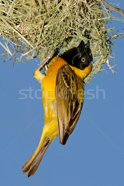 Masked Weaver (Ploceus velatus) Stock photo © EcoPic