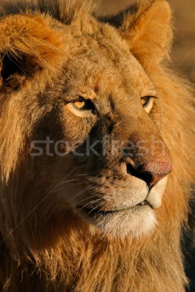 ビッグ 男性 アフリカ ライオン 肖像 南アフリカ ストックフォト © EcoPic