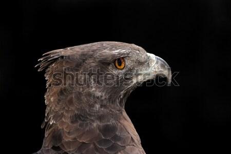 Martial eagle portrait Stock photo © EcoPic