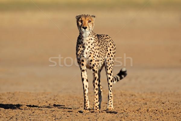 Alert Cheetah Stock photo © EcoPic