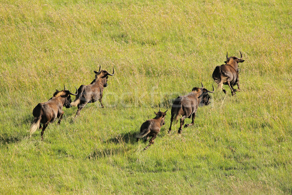 Black wildebeest running Stock photo © EcoPic