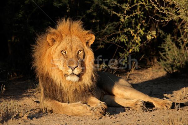 Stok fotoğraf: Büyük · erkek · Afrika · aslan · Güney · Afrika