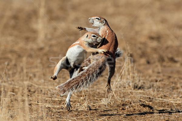Сток-фото: играет · землю · Белки · два · пустыне · ЮАР