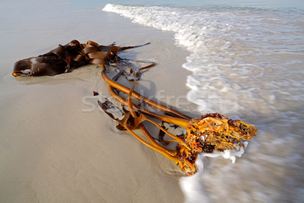 Kelp on the beach Stock photo © EcoPic
