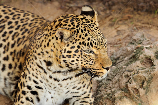Leopard portrait Stock photo © EcoPic