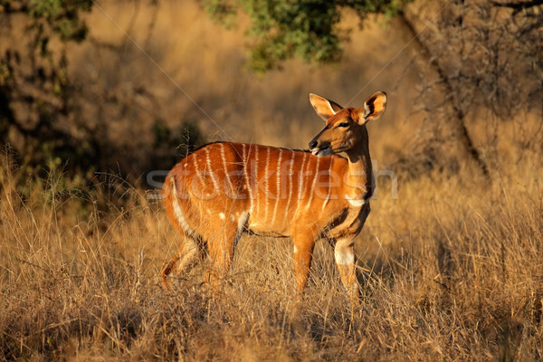 Nyala antelope Stock photo © EcoPic
