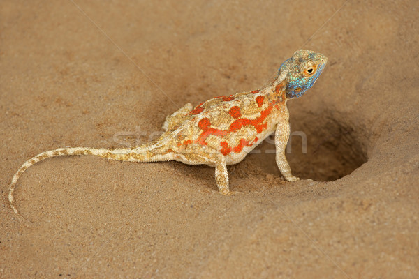 Ground agama Stock photo © EcoPic