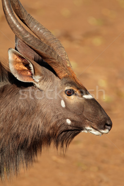 Nyala antelope portrait Stock photo © EcoPic