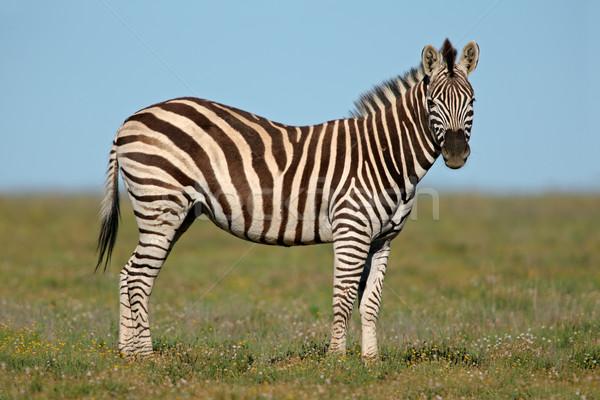 平野 シマウマ 南アフリカ 草 自然 動物 ストックフォト © EcoPic