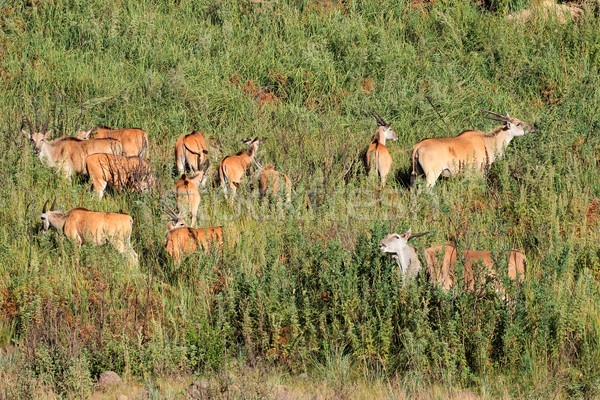 Eland antelopes in natural habitat Stock photo © EcoPic