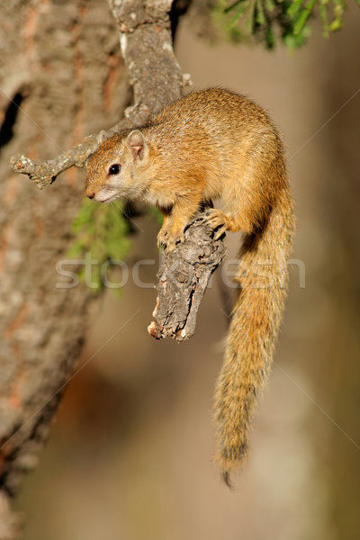 Tree squirrel Stock photo © EcoPic