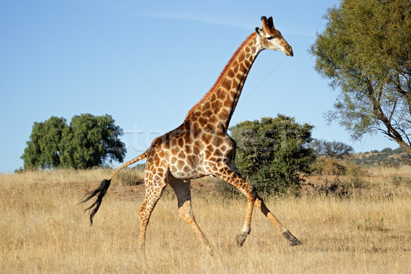 Running giraffe Stock photo © EcoPic