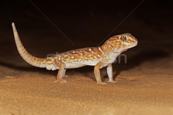 óriás föld gekkó homokdűne éjszaka sivatag Stock fotó © EcoPic