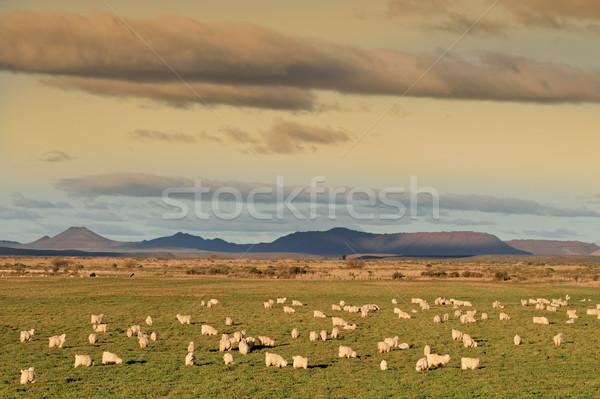 Angora goats Stock photo © EcoPic