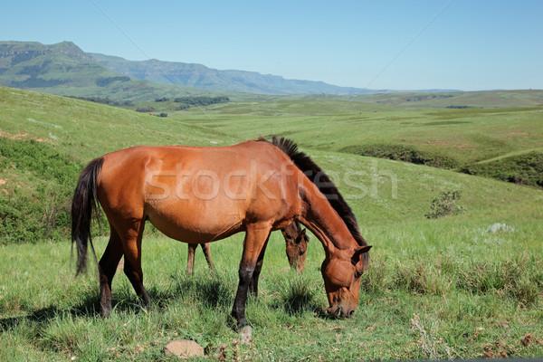 Mountain horses Stock photo © EcoPic