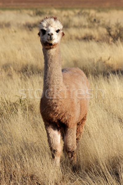 Alpaca (Vicugna pacos) Stock photo © EcoPic