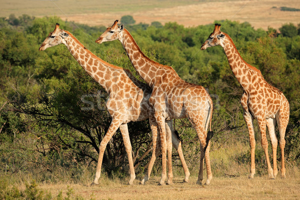 Girafes naturelles habitat Afrique du Sud nature arbres Photo stock © EcoPic