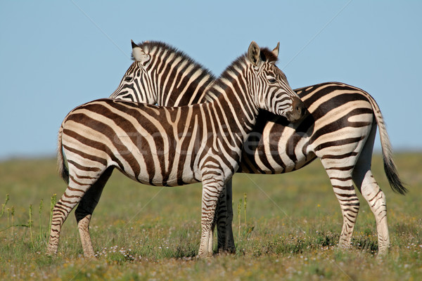 平野 シマウマ 2 南アフリカ 草 動物 ストックフォト © EcoPic