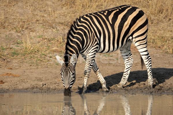 Plains Zebra drinking Stock photo © EcoPic