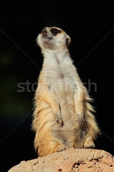 Meerkat on guard Stock photo © EcoPic