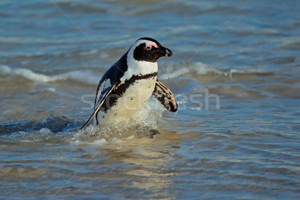 African penguin Stock photo © EcoPic