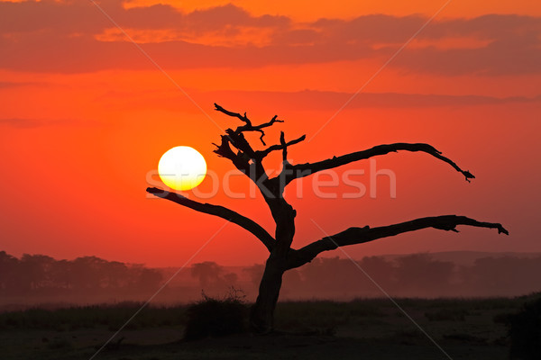 Sunset with silhouetted tree Stock photo © EcoPic