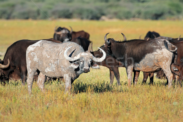 African buffaloes Stock photo © EcoPic