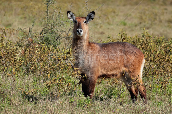 Defassa waterbuck Stock photo © EcoPic