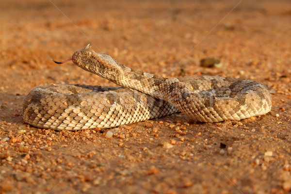 Horned adder Stock photo © EcoPic