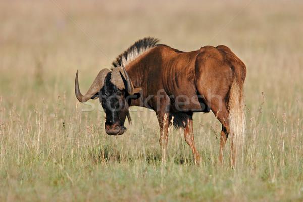 Black wildebeest Stock photo © EcoPic