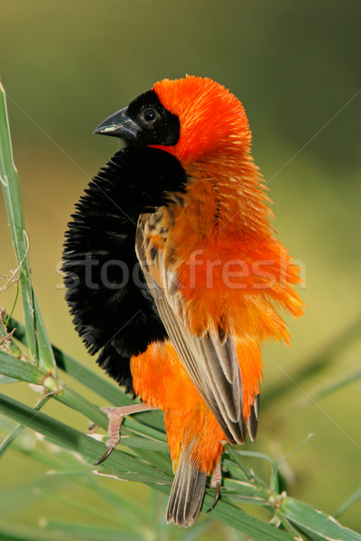 Stock photo: Male red bishop bird