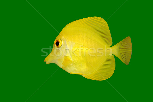 Yellow fish on green  Stock photo © EcoPic