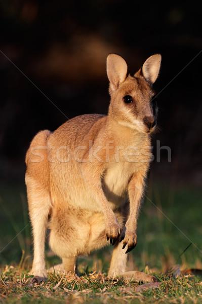 Agilis női park északi terület Ausztrália Stock fotó © EcoPic