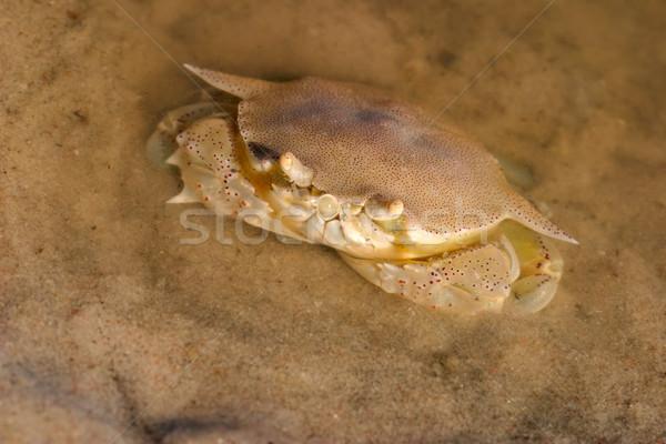 Swimming crab Stock photo © EcoPic
