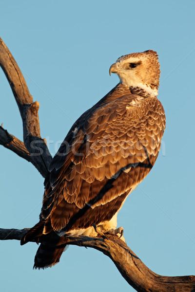 Aigle immature branche Afrique du Sud ciel oiseau Photo stock © EcoPic