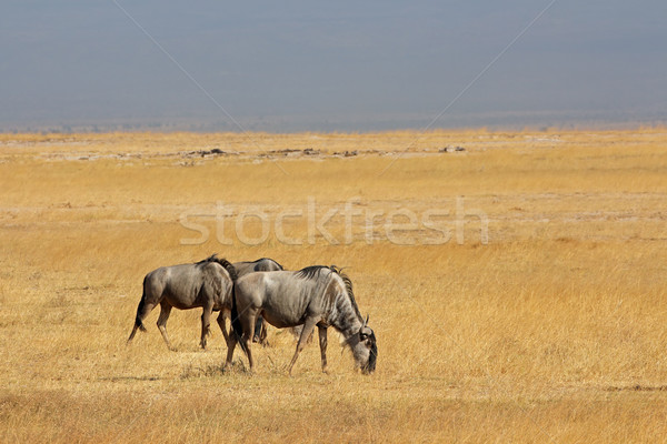 Blue wildebeest landscape Stock photo © EcoPic
