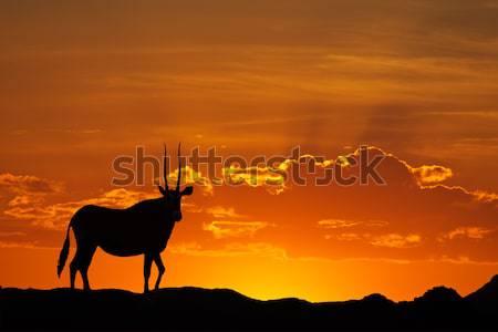 Springbok silhouette Stock photo © EcoPic