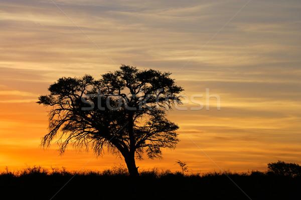 Foto stock: África · puesta · de · sol · árbol · desierto · Sudáfrica · naturaleza