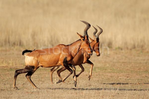 Running red hartebeest Stock photo © EcoPic