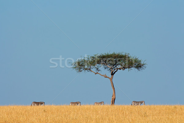 Zebras and tree Stock photo © EcoPic