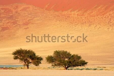 African Acacia trees Stock photo © EcoPic