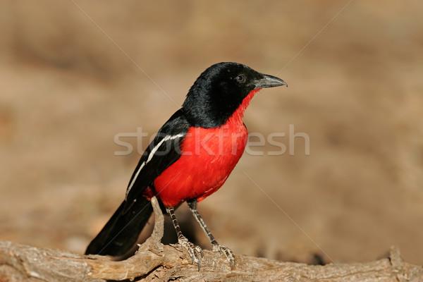 Crimson-breasted shrike Stock photo © EcoPic